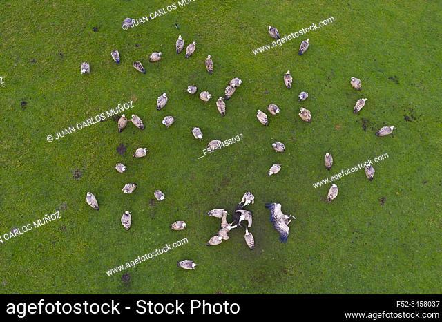 Griffon bulture (Gyps fulvus), Mount Buciero, Liendo, Liendo Valley, Montaña Oriental Costera, The Way of Saint James, Cantabrian Sea, Cantabria, Spain, Europe