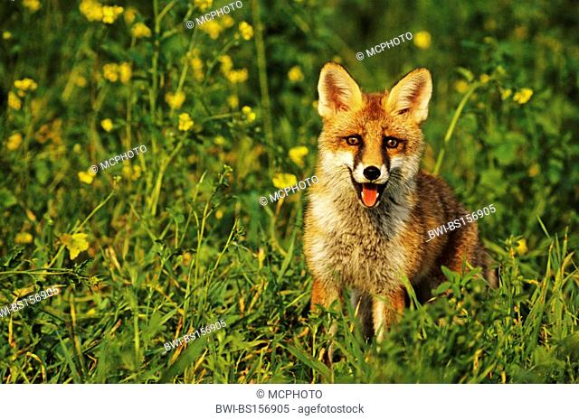 red fox (Vulpes vulpes), on meadow, Germany, Baden-Wuerttemberg