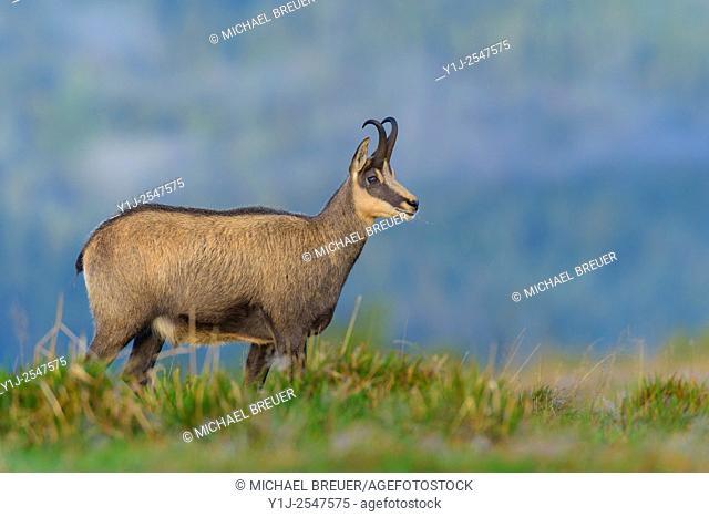 Chamois (Rupicapra rupicapra), Hohneck, Vosges, Alsace, France