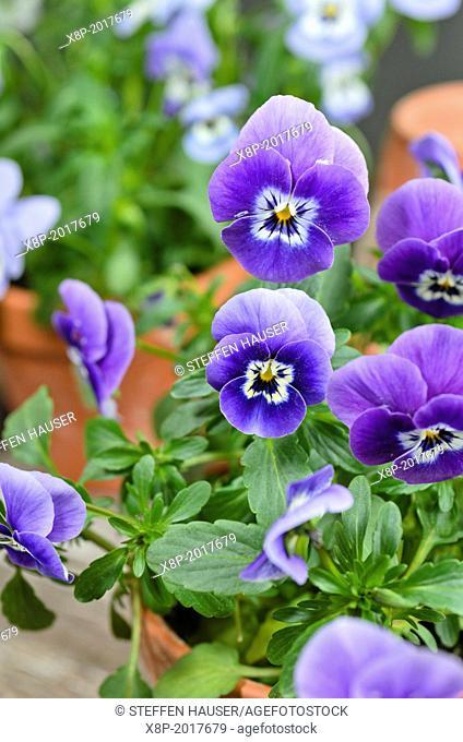 Horned pansy (Viola cornuta)