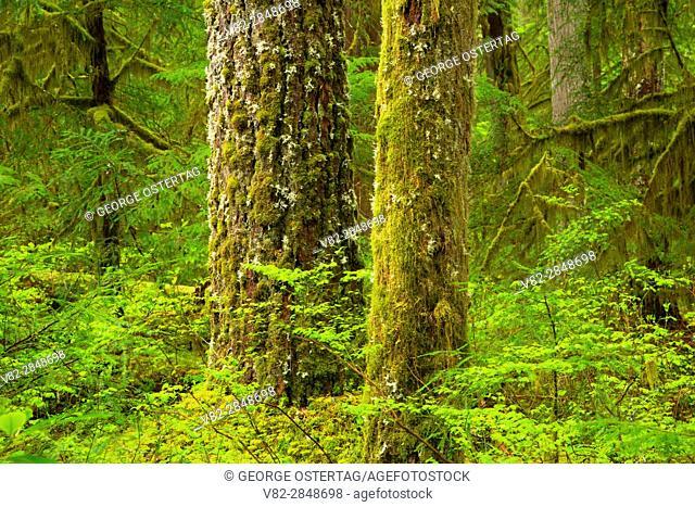 Ancient forest along Kopetski Trail, Opal Creek Scenic Recreation Area, Willamette National Forest, Oregon