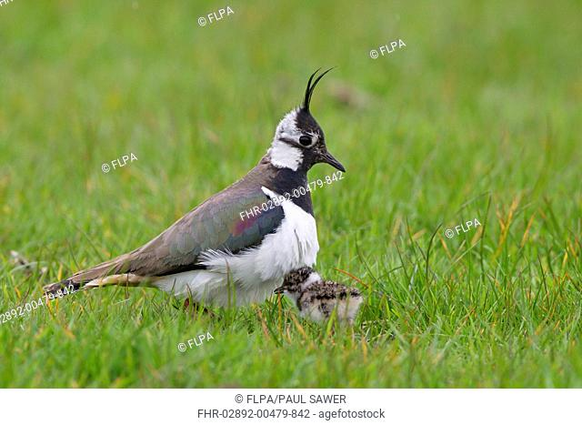 Northern Lapwing Vanellus vanellus adult female, about to incubate newly hatched chick, Suffolk, England, may