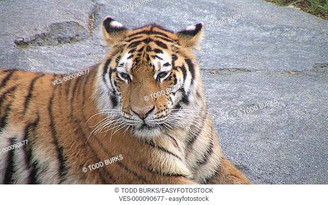Close-up of Siberian Tiger yawning