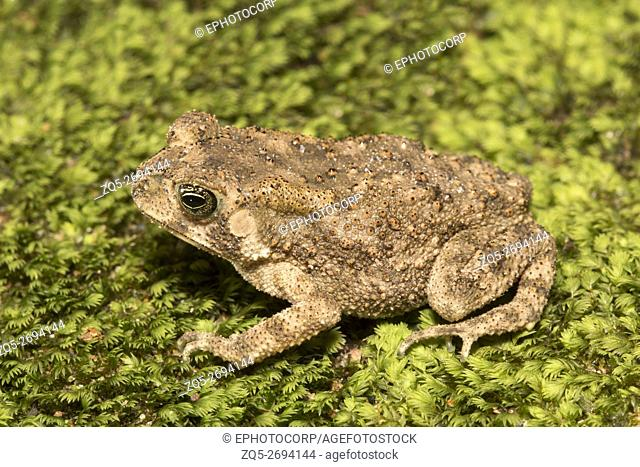 Bufonidae, Toad, Trishna WLS, Tripura Common toad are warty with distinct parotid glands that secret poisonous toxins