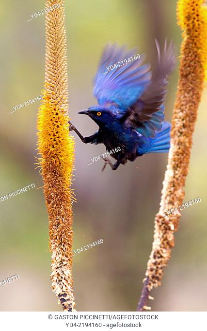 Cape Glossy Starling (Lamprotornis nitens), on the Skirt Aloe (Aloe alooides),Kruger National Park, South Africa
