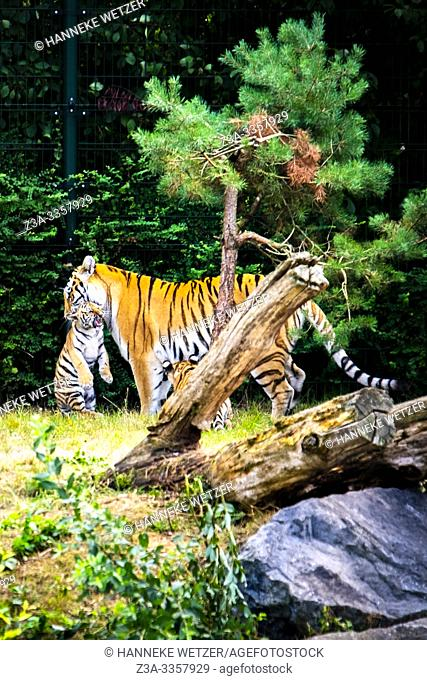 Tiger carrying her baby in Beekse Bergen zoo, The Netherlands, Europe