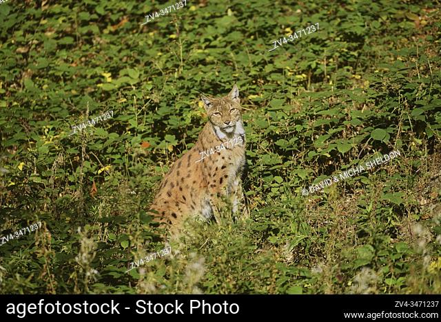 Eurasian lynx (Lynx lynx) in a forest, captive, Bavarian Forest Nationalpark, Bavaria, Germany, Europe