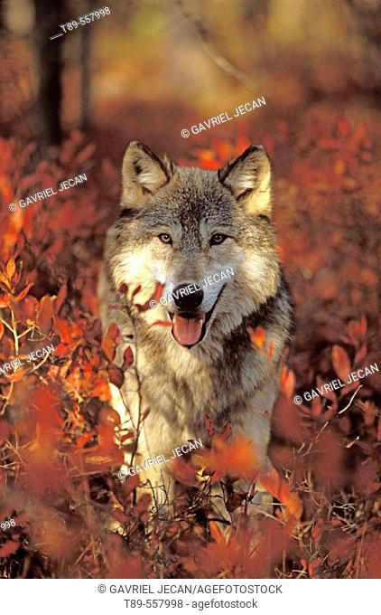 USA, Minnesota, Northern Woods, A Gray Wolf (Canus lupus) running along a trail forest in Autumn