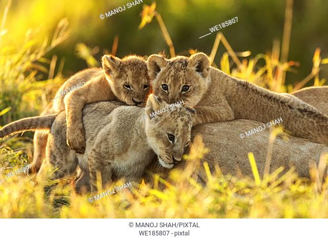 lion cubs playing besides sleeping mother