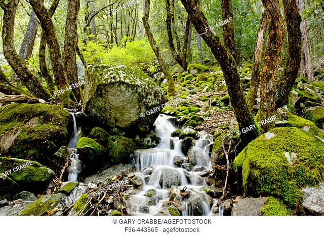 Moss covered rocks and trees and flowing stream cascade, Yosemite Valley, Yosemite National Park, Callifornia