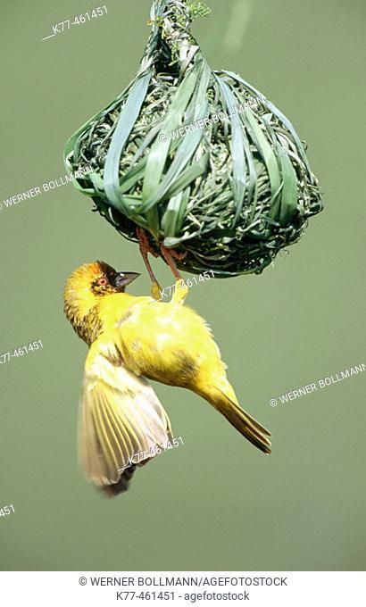 Vitelline-masked Weaver (Ploceus vitellinus), male, at nest. Lake Bogoria, Kenya