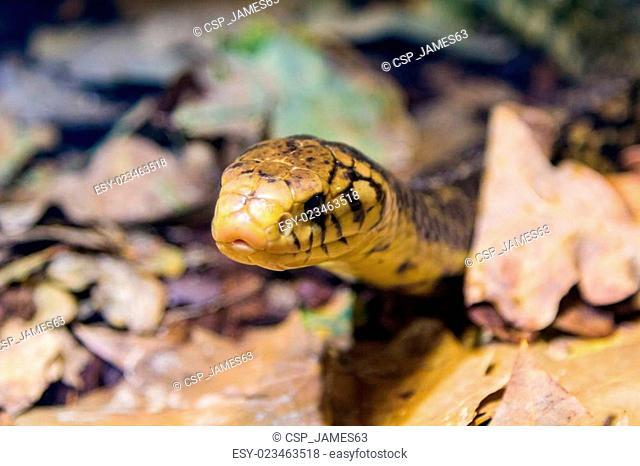 Blackish Cobra (Naja melanoleuca)