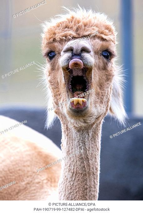 09 July 2019, Brandenburg, Walsleben: An alpaca yawns in an extensive enclosure of a breeder. In the north of Brandenburg, a family business breeds the animals