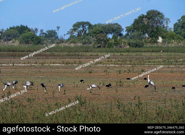 Wattled cranes (Grus carunculata) and spur-winged geese feeding in the dry floodplains at the Jacana Camp in the Jao Concession, Okavango Delta in Botswana
