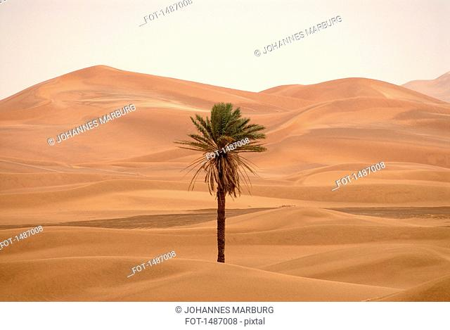 Palm tree in the desert of Erg Chebbi, Morocco
