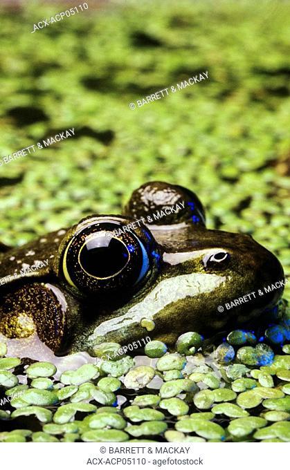 Close up of a Bullfrog in marsh habitat, Canada