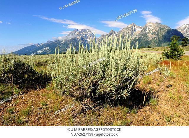 Big sagebrush (Artemisia tridentata) is an aromatic shrub native to arid and semi-arids regions of USA. Angiosperms. Asteraceae