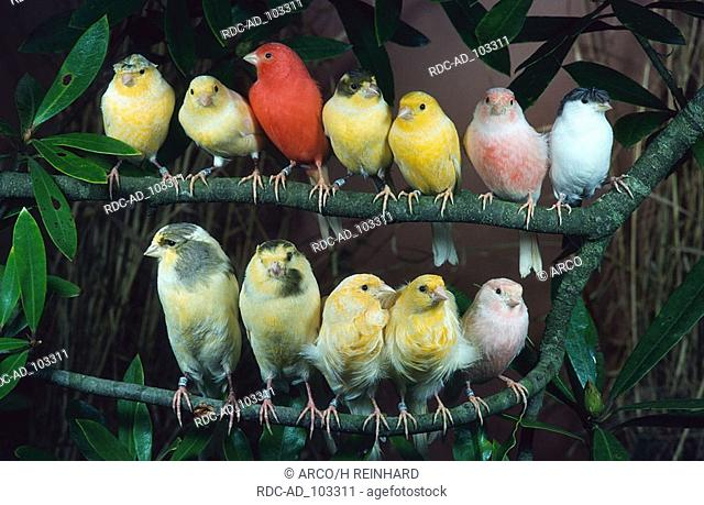 Canaries of different breeds