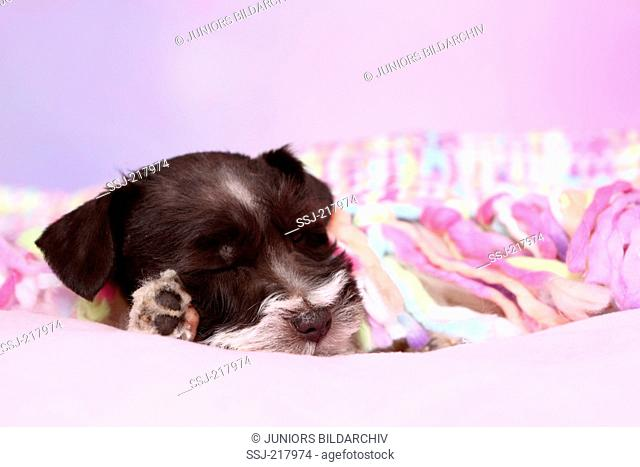 Parti-colored Miniature Schnauzer. Puppy sleeping on a multi-colored blanket. Studio picture against a purple background. Germany