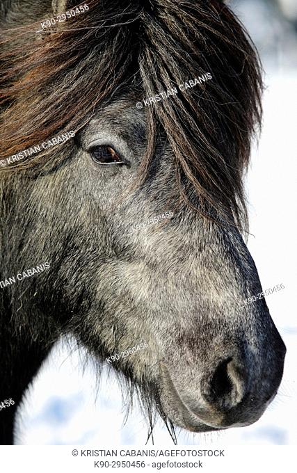 Portrait of a young Icelandic horse with thick forelock, Lennestadt, Siegerland, North-Rhein-Westphalia, Germany, Europe