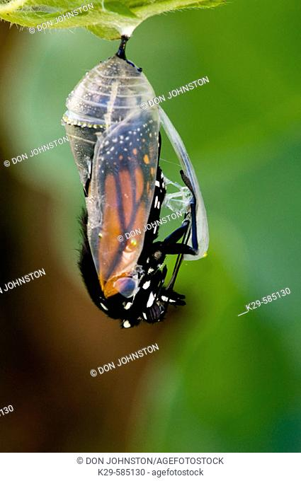 Monarch butterfly (Danaus plexippus). Adult emerging from chrysallis. Ontario