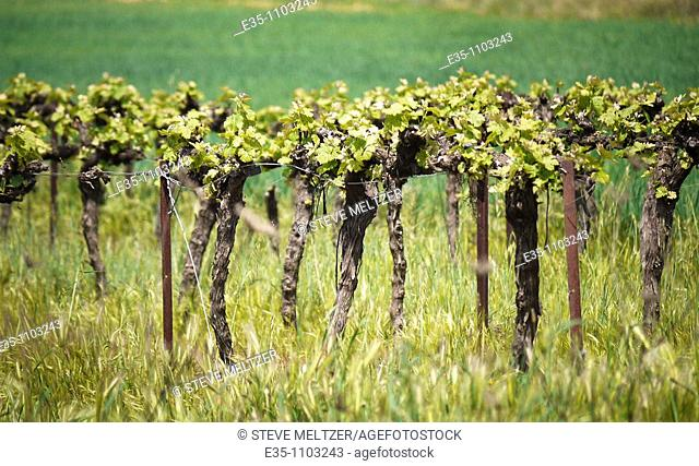 New growth on vines in the Spring in the south of France