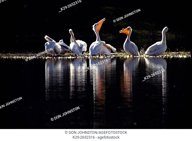 American White pelican (Pelecanus erythrorhynchos) loafing on the Madison River, Yellowstone National Park, Wyoming, USA