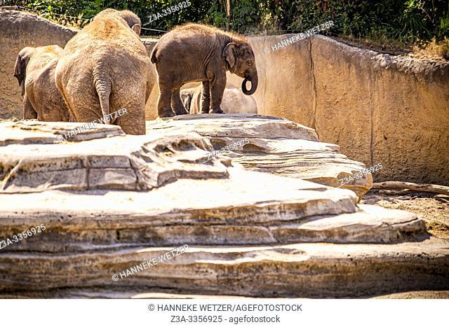Baby elephant in the Wildlands Adventure Zoo, Emmen, The Netherlands, Europe