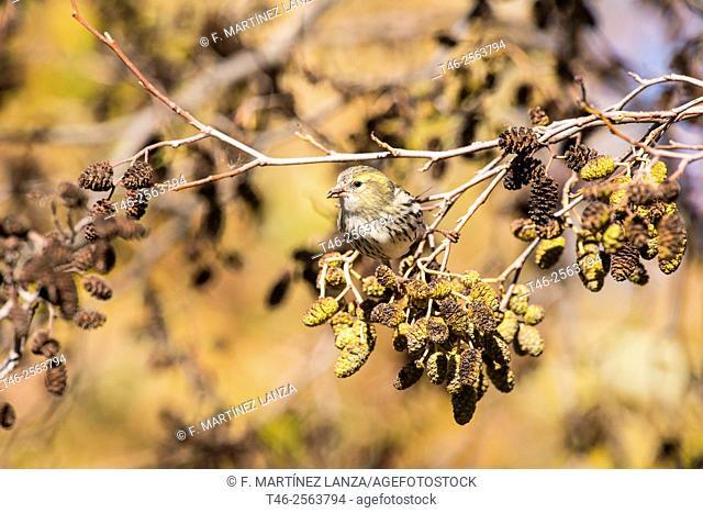 Eurasian siskin (Spinus spinus). Male eating seeds. Parque de Polvoranca, Leganes, Madrid province, Spain