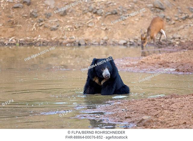 Sloth bear (Melursus ursinus), adult bathing in waterhole, with Indian muntjac (Muntiacus muntjak) in background, Tadoba National Park, Maharashtra, India