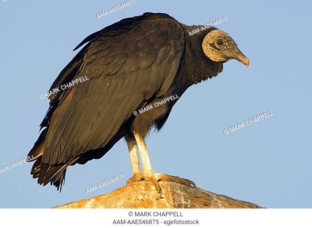 Black Vulture (Coragyps atratus), Rio Grande Valley, Texas, USA