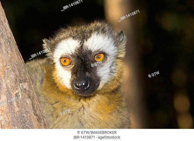 Red-Fronted Brown Lemur (Eulemur rufus), Perinet Nature Reserve, Madagascar, Africa