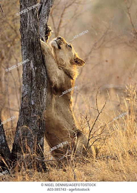 Lion (Panthera leo), clawing tree. Kruger National Park, South Africa