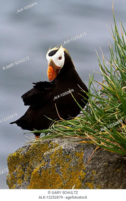 Tufted puffin (Fratercula cirrhata) sitting on boulder, Walrus Islands State Game Sanctuary, Round Island, Bristol Bay, Southwestern Alaska
