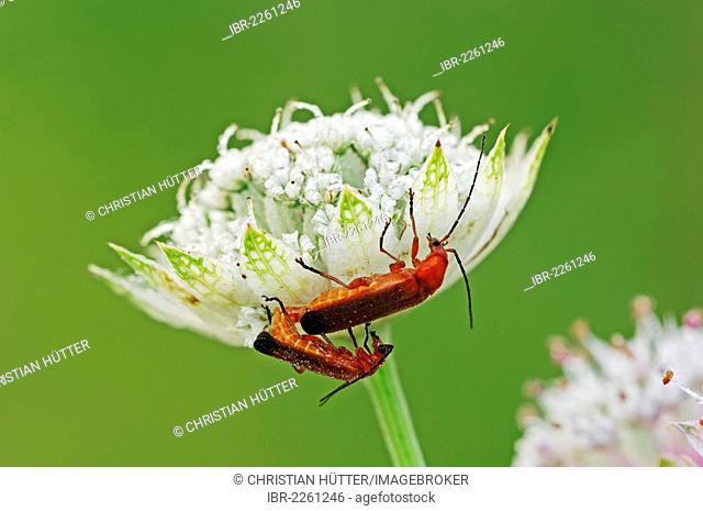 Common red soldier beetles (Rhagonycha fulva), male and female mating on Great masterwort (Astrantia major), North Rhine-Westphalia, Germany, Europe
