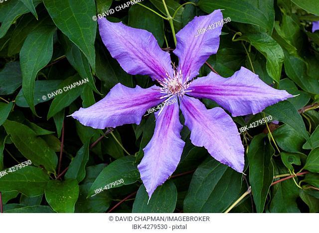Blue Clematis flower (Clematis Daniel Deronda), Quebec, Canada