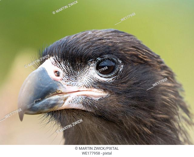 Juvenile with typical pale skin in face. Striated Caracara or Johnny Rook (Phalcoboenus australis), protected, endemic to the Falklands and highly intelligent...