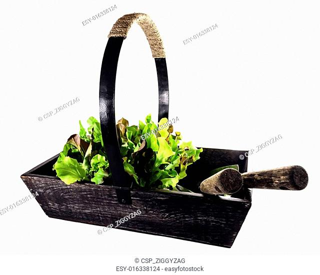 Old Wooden Trug Filled With Lettuce