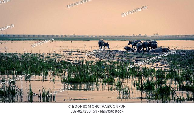 Herd of water buffalo in Talay-Noi Ramsar Sites at sunrise in Phattalung province , Thailand. Vintage color image