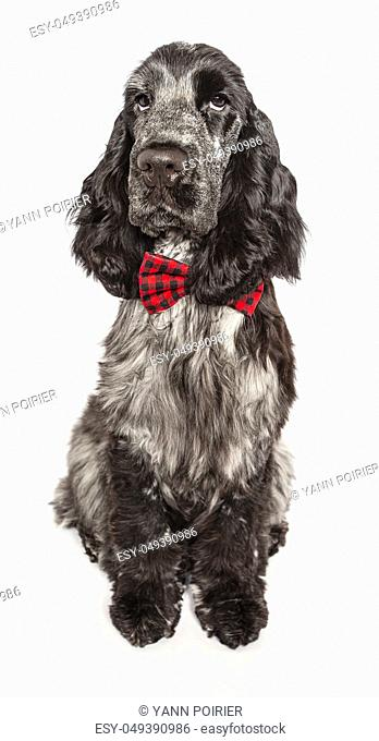 English cocker spaniel wearing a bow tie, isolated on a white background