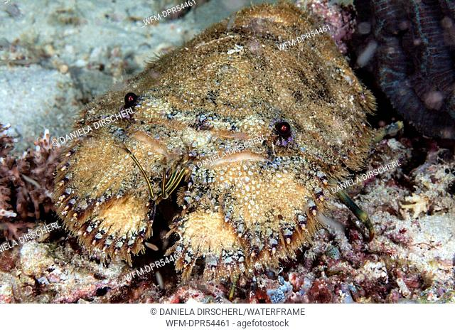 Slipper Lobster, Parrabacus japonicus, Ambon, Moluccas, Indonesia