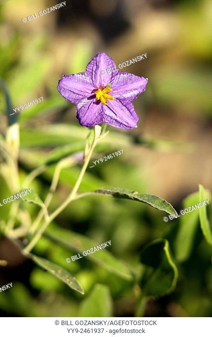 Silver-leaf nightshade (Solanum elaegnifolium) - Camp Lula Sams - Brownsville, Texas, USA