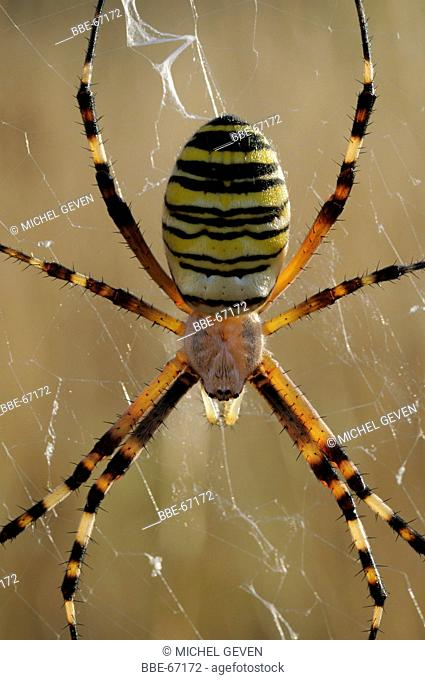 Female Wasp Spider against the light with light shining through her legs