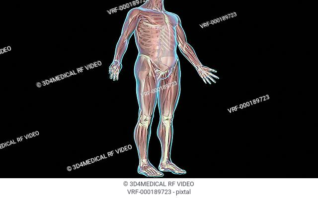 An animation of the circulatory system. The camera zooms the feet and rotates caudorostrally to show the entire system