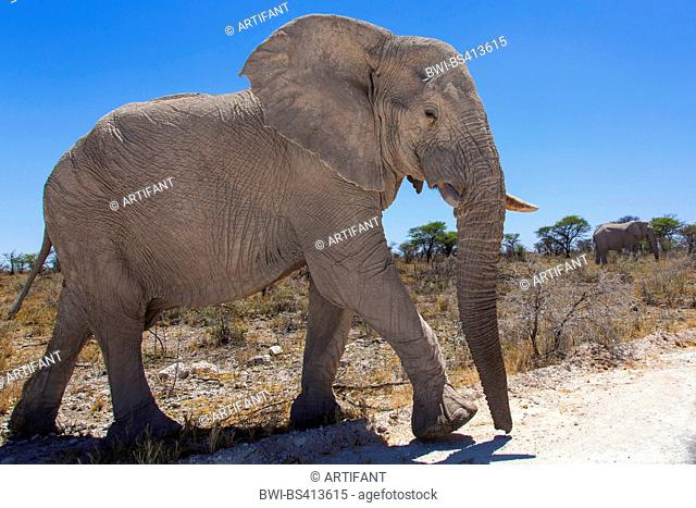 African elephant (Loxodonta africana), with broken off tooth in dry bushland crossing an unpaved road, Namibia, Etosha National Park, Naumutoni