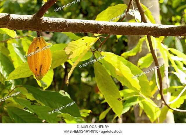 Thailand, Cocoa tree (Theobroma cacao), pod