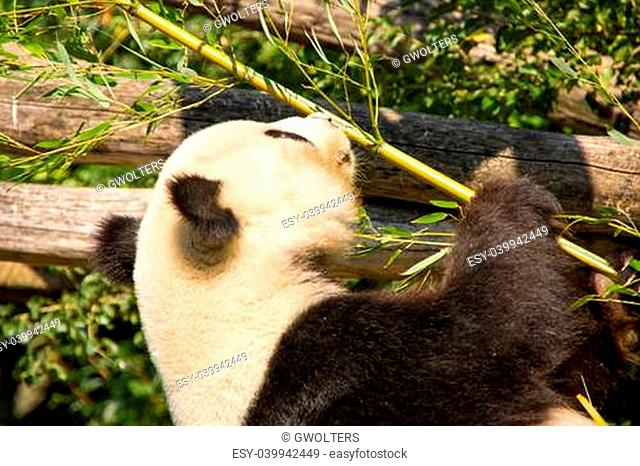 Cute giant panda eating some bamboo