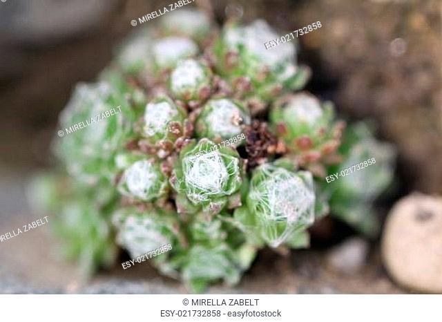 Sempervivum Arachnoideums Spinnenweben-Hauswurz