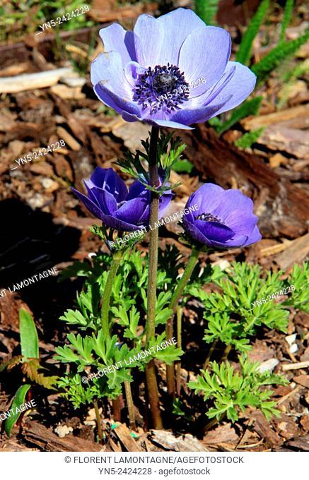 Blue Anemone, flower