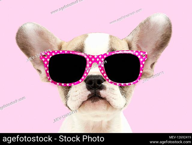 French bulldog, puppy 8 weeks old wearing sunglasses